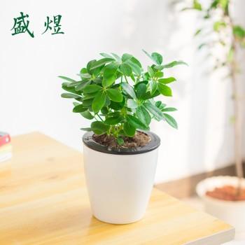 鸭脚木盆栽七叶莲鹅掌柴