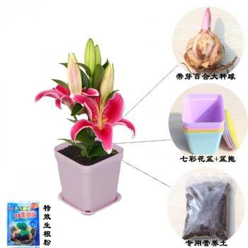 【包邮】 百合花盆栽套餐,百合种球土培套餐