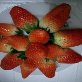 产地正宗超级好吃 农场自产富硒套袋草莓 奶油草莓