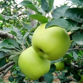 【限地区】冷库青苹果 清脆爽口青嘎啦绿色水果
