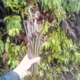 野生新鲜蕨菜 龙爪菜5斤装