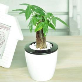 客厅室内大发财树平安树大型植物办公室盆栽绿植观叶盆