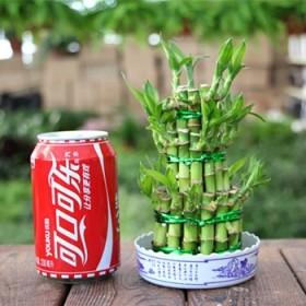 富贵竹 大叶竹 转运竹办公桌客厅水培植物花卉盆栽富
