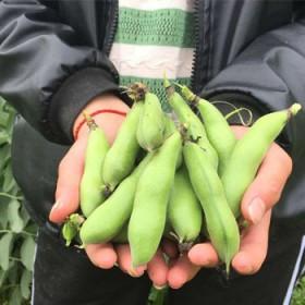 2017 农家自种带壳新鲜蚕豆4斤包邮