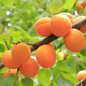 新鲜水果 现摘现发 金太阳大黄杏子5斤装
