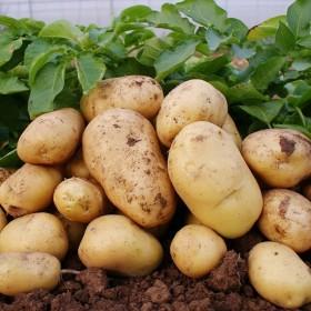 恩施土豆非转基因洋芋马铃薯买5斤包邮