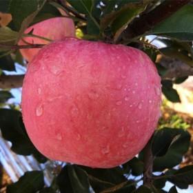 烟台苹果 新鲜水果 80mm--95mm包邮