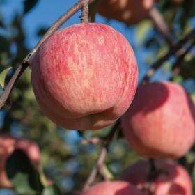 当季新鲜水果烟台红富士苹果甜脆5斤