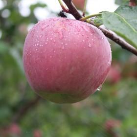 大凉山糖心丑苹果十斤装70-85果