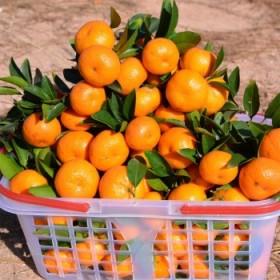 江西南丰蜜桔橘子5斤青皮薄皮应季水果沙糖桔蜜橘新鲜