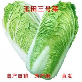 农家自产新鲜玉田特产大白菜现扒净菜三号菜黄心蔬菜