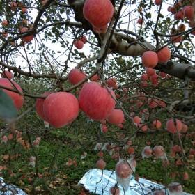 新鲜特红苹果中果甜脆红富士10斤毛重整箱包邮