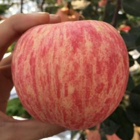 烟台苹果一级品质大果85CM 10斤现摘
