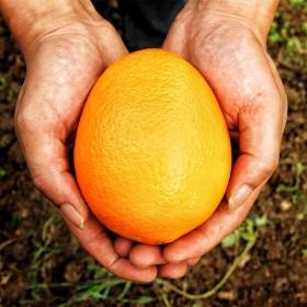 四川蓬安锦橙100号新鲜橙子带箱8斤鲜果现摘现发