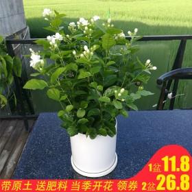 白色茉莉花盆栽花卉花草植物室内四季浓香开花不断净化