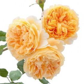 蔷薇花苗爬藤藤本月季大花
