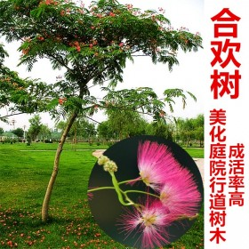 合欢盆栽合欢树苗盆栽绒花