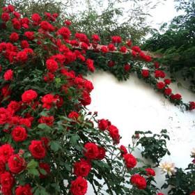 盆栽月季花苗带花苞原盆原土发