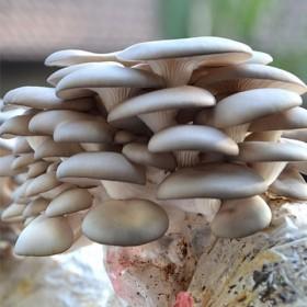 【买2送1送喷壶】平菇包菌菇种植包室内多肉盆栽菌菇
