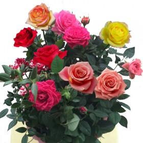 浓香大花玫瑰花苗盆栽花卉四季开花室内外绿植物月季花