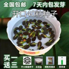 33粒碗莲种子 加盆 加营养液 加荷塘泥 碗莲种子