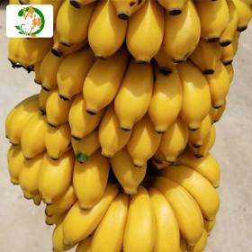 【8斤】广西小米蕉香蕉非芭蕉新鲜水果小香蕉帝皇蕉