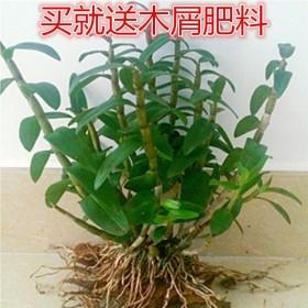 正宗雁荡山铁皮石斛苗 不少于8颗 盆栽绿植多肉仿野