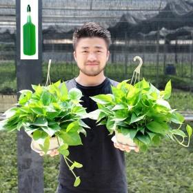 绿萝盆栽 大叶绿萝 室内吸除甲醛 花卉植物 水培绿