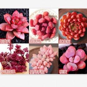 特价多肉植物红粉6棵送盆送土办公室绿植