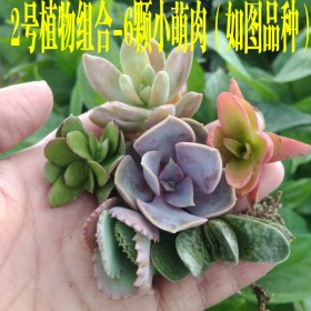 精选6颗小萌物多肉植物组合 室内盆栽花卉绿植