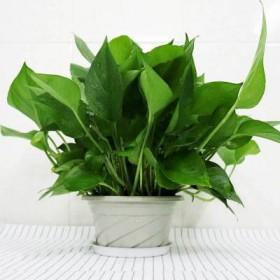 除甲醛精品绿萝盆栽室内懒人吸水盆水培大叶长藤吊兰肥
