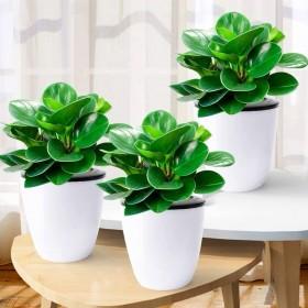 豆瓣绿盆栽四季常青植物室内净化空气碧玉绿植花卉吸甲