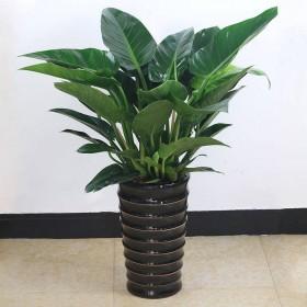 大叶 金钻 四季常青吸甲醛植物花苗大型绿植盆栽室内