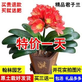 精品君子兰花苗盆栽四季开花室内君子兰苗绿植