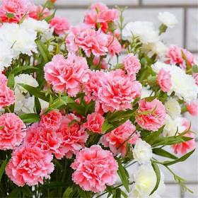 康乃馨种子四季种易活开花不断室内盆栽绿植物庭院花种
