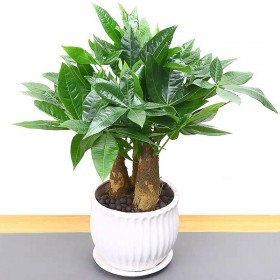 【送肥料】发财树盆栽客厅花卉绿植室内招财绿色植物办