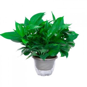绿萝盆栽植物绿植绿萝室内花卉长藤办公室水培鲜花吊兰