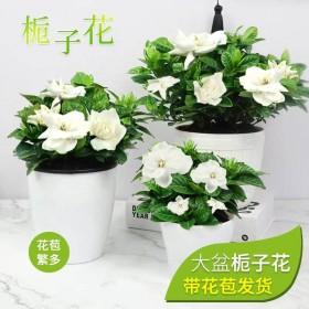 买一盆送一盆带花苞小盆栀子花盆栽原土原盆发货室内