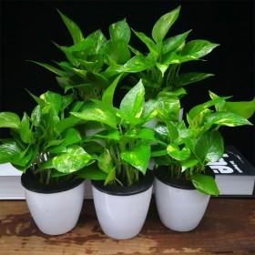 3盆懒人桌面绿植花鸟市场绿萝长寿花盆栽室内四季易活