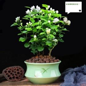 【2棵4年苗】茉莉花盆栽植物室内花卉好养绿植