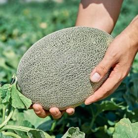 新疆直发正宗新疆一碗蜜哈密瓜6斤新鲜水果