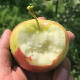 嘎啦苹果水果新鲜包邮应季带箱10斤当季整箱
