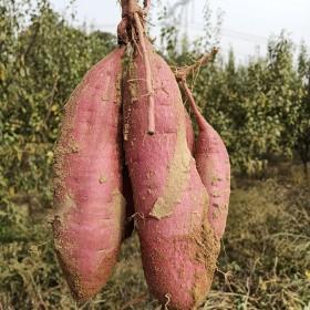 沙地新鲜板栗红薯10斤小番薯糖心蜜薯农家地瓜黄心