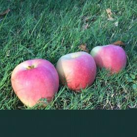 陕西嘎啦苹果脆甜新鲜水果地头价【10斤】