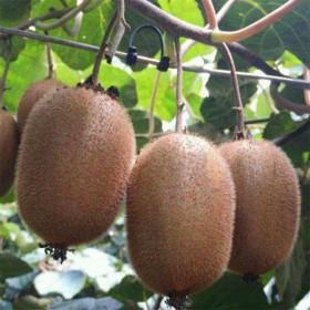 陕西徐香猕猴桃 绿心泥弥猴桃奇异果新鲜包邮应季水果