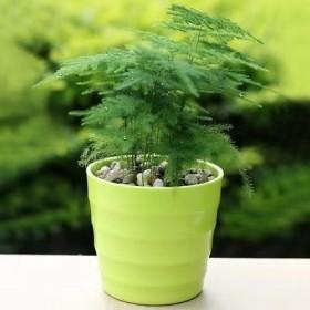包邮文竹盆栽室内客厅桌面绿植小盆景净化空气吸甲醛