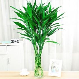 富贵竹水养植物盆栽绿植花卉转运竹观音竹