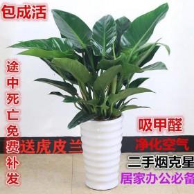 盆栽绿植室内四季好养耐活绿色植物