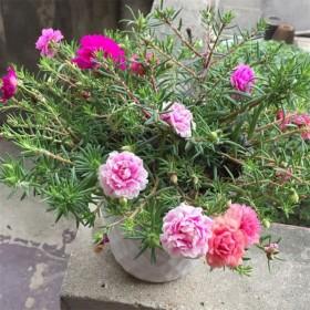 太阳花盆栽带盆带土发货