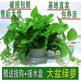 绿萝盆栽室内大盆长藤花卉水培养绿植室植物盆栽大叶绿